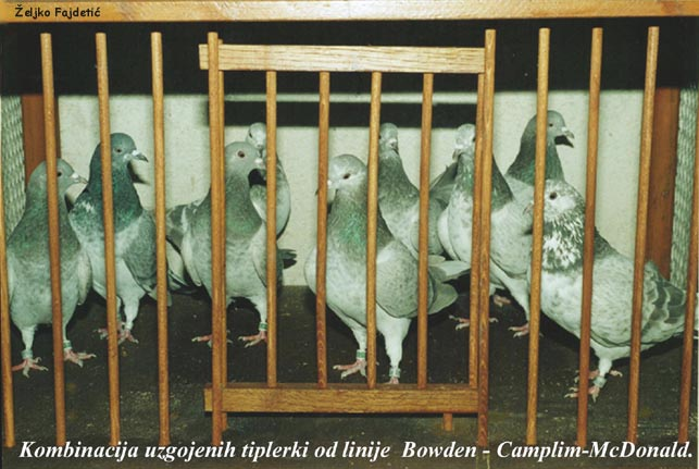 There Hen's F-1 gen. pigeons of P. Bowden, M. Camplin and  J. McDonald. Click with mouse to enlarge picture!