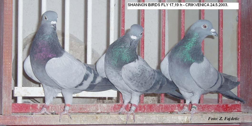 SHANNON BIRDS FLY 17,19 HOURS - 2003 YEAR CROATIA - Fajdetic!