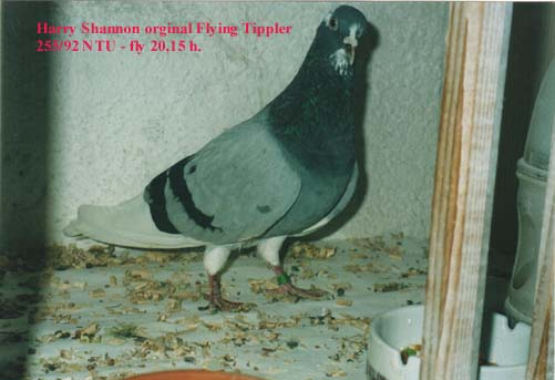 Blue badge Cock 255/92 NTU Flying Tippler - fly 20,15 h, breed Harry Shannon!